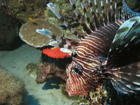 turkeyfish: A profile of a lionfish