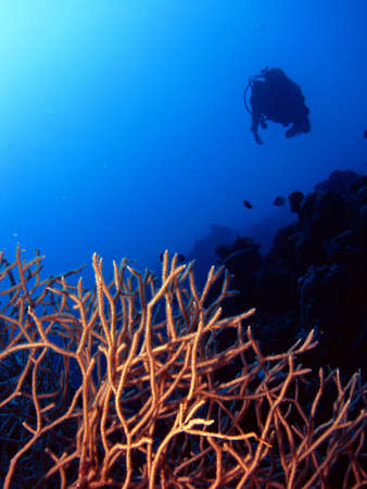Coral with diver in the background