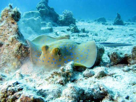 Blue Spotted Ray looking for food. shot in the Red Sea 13072008 Stock Photo