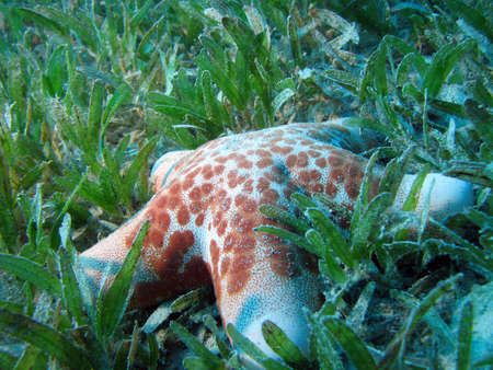 Starfish on turtle grass. shot in the Red Sea
