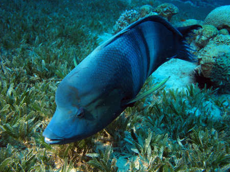 humphead: Clown Wrasse. shot in the Red Sea  Stock Photo