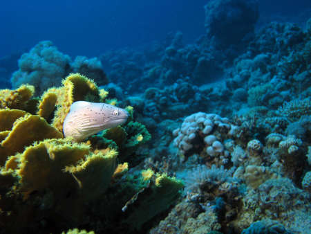 Moray Eel on coral. shot in the Red Sea