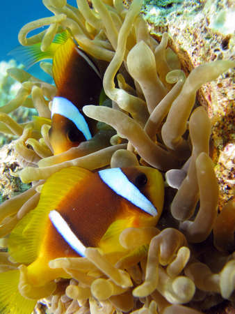Clownfish and Sea Anemone. shot in the Red Sea