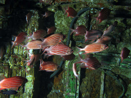 School of red fish inside a ship wreck