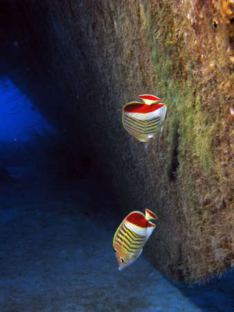 A couple of Red Back Butterflyfish.