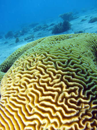 Brain coral. shot in the Red Sea  Stock Photo