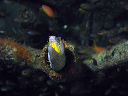 A Moray Eel near some coral peeking out of a pipe Stock Photo