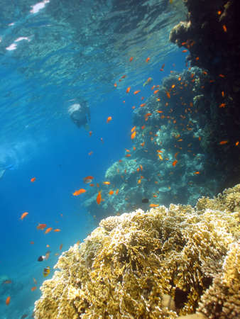 Underwater photograph of a coral reef in the Red Sea with snorkeller in background