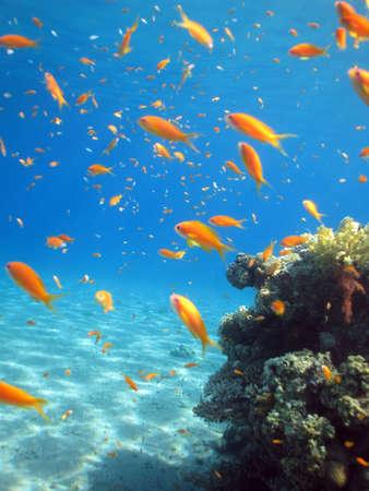 A school of Anthias swimming around