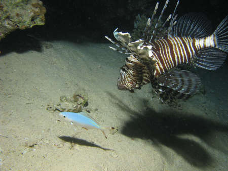 turkeyfish: Lionfish hunting another fish.