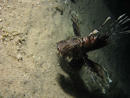 Lionfish eating its prey