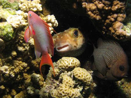 Porcupinefish hiding amongst corals.