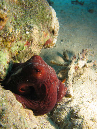 Octopus hiding away between rocks