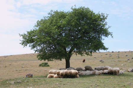 Sheeps rest under a tree.
