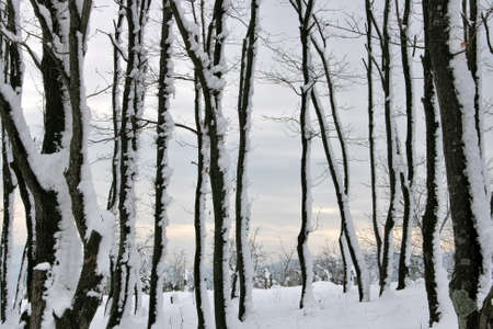 Snow covered trees in forest. Sakarya,Turkey Stock Photo - 8460308