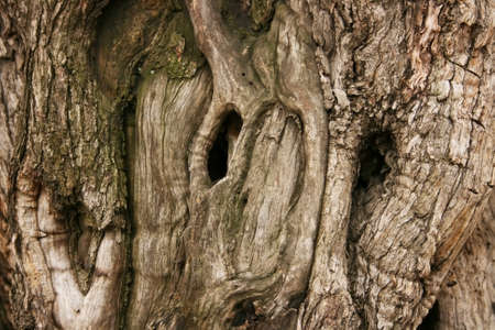 bark background: Hollows on old olive tree bark and olive tree texture. Stock Photo