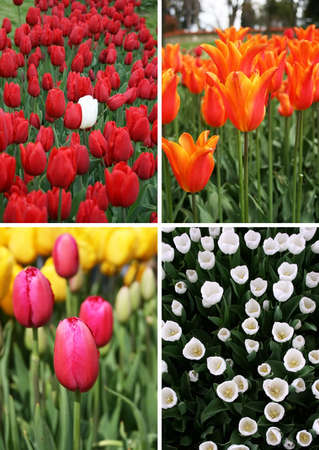 Colorful tulips in spring season.