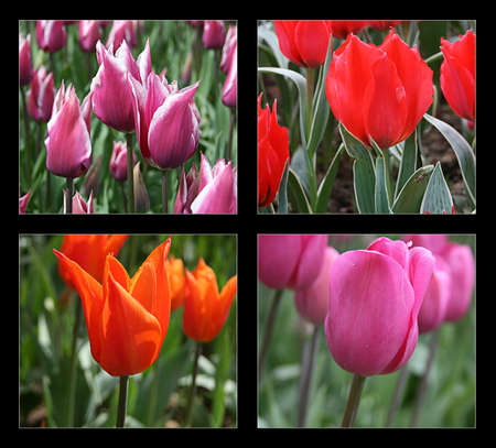 Different kind of tulips in tulip festival,Istanbul,Turkey photo
