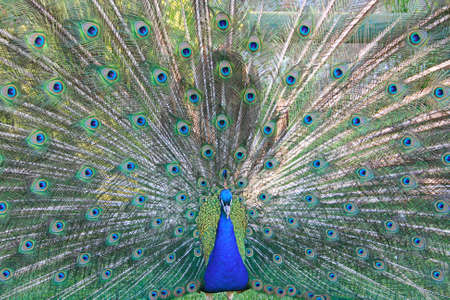 The Peacock On Grass.