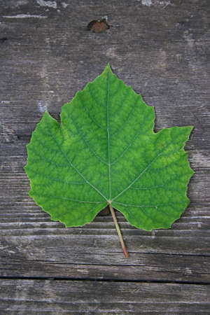 Grape Leaf On Wooden Background photo