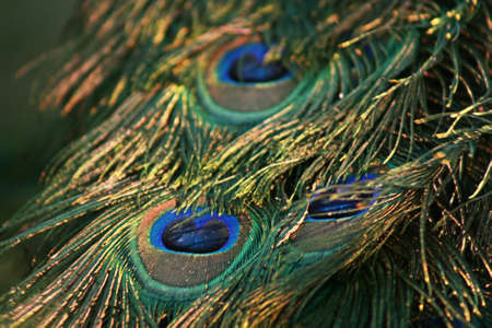 Peacock Feather,Close Up photo