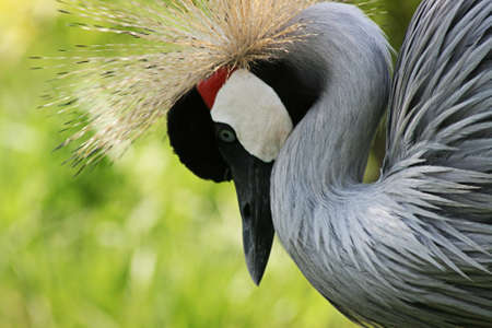 Gray crowned crane in zoo