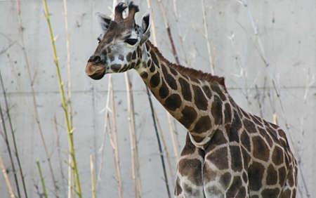 Brown Baby Giraffe photo
