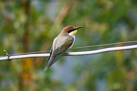 Lonely bee-eater on wire photo