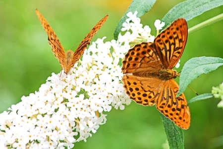 migration: Two butterflies in garden