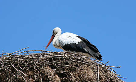 close up chimney: Little white stork in nest