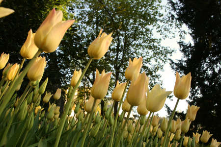 Yellow Tulips against tree tops photo