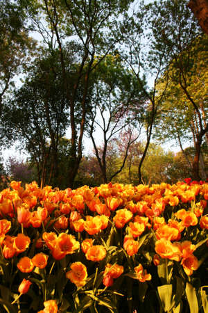 Orange Tulips during Sunset photo