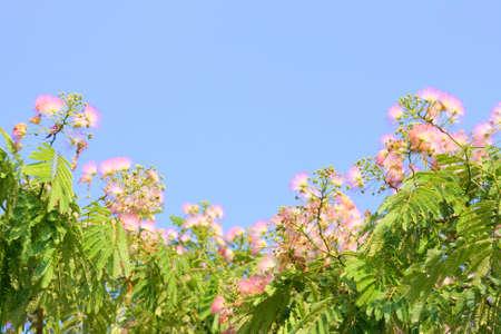 arbre: Blossoms of Silk Tree