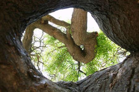 ocas: Rama de un árbol y la corteza a través del árbol hueco, natural