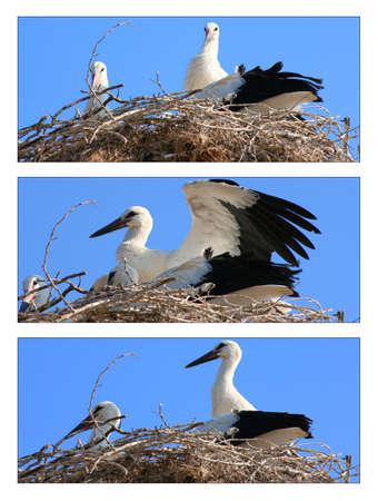 White stork family in nest