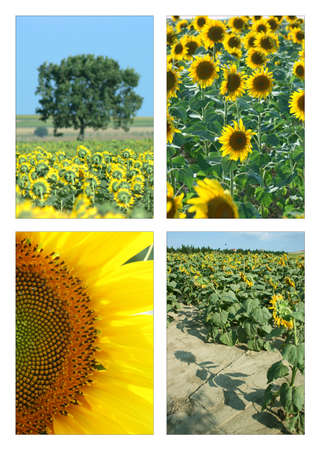 Sunflower season,collage photo
