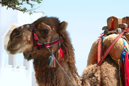 Camel for tourists Stock Photo