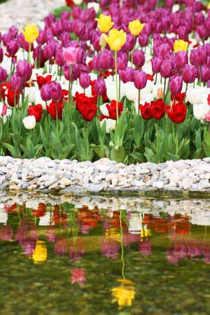 paysage: Reflection of tulips in spring garden Stock Photo