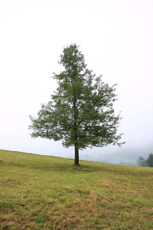 Lonely Tree on Foggy Hill,Trabzon,Turkey Stock Photo