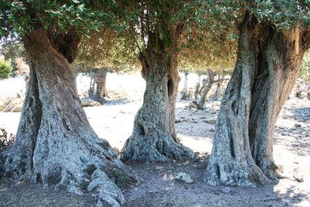 arboleda: Centenario de los olivos en la isla de Imbros, Turquía