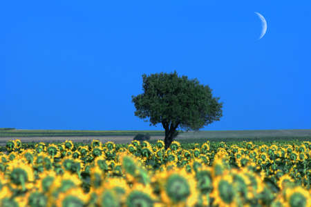moon flower: Lonely tree with sunflowers and moon Stock Photo