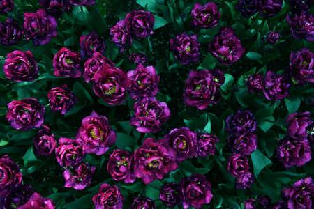Purple Tulip Garden in Emirgan Wood, Istanbul, Turkey
