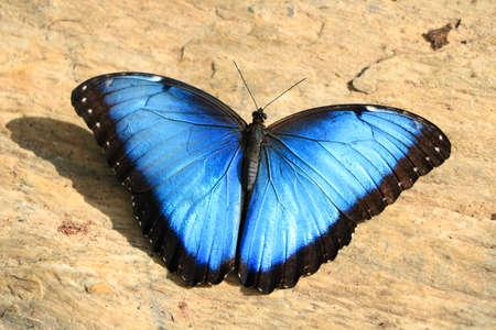 Farfalla blu sul pavimento, primo piano Archivio Fotografico