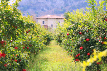 Organic Pomegranate Farm in Mugla, Turkey