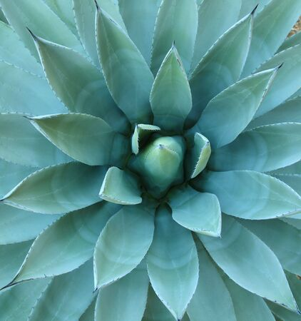 Agave plant (sometimes used to make tequila) in Arizonas desert photographed to emphasize symmetry.