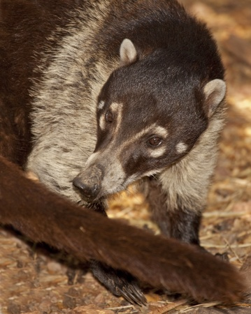 Coati (Nasua narica) Native to Arizona