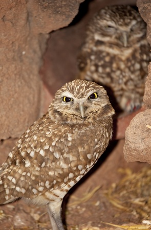 mated: Burrowing Owls (Athene cunicularia)
