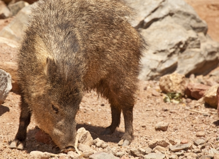 Javelina (Peccary) in Arizona Desert Stock Photo
