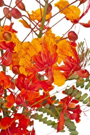 Bird of Paradise (Caesalpinia pulcherrima) flower