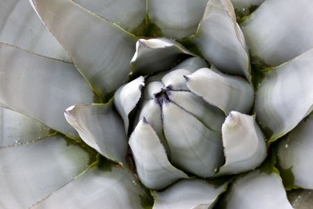 Blue Agave (agave tequilana) closeup Stock Photo